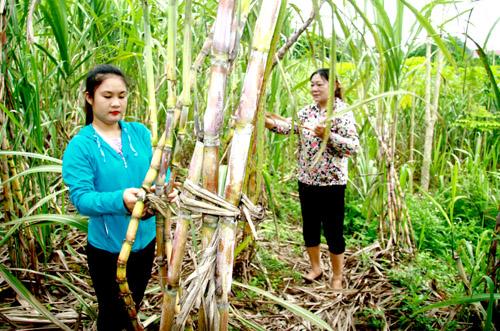 Xã Mông Hóa làm giàu từ cây mía trắng