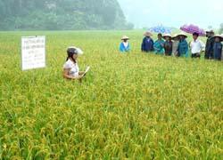 Theo quan hướng dẫn của Chi cục BVTV, nông dân xã Yên Nghiệp (huyện Lạc Sơn) đã chủ động sản xuất giống lúa để sản xuất