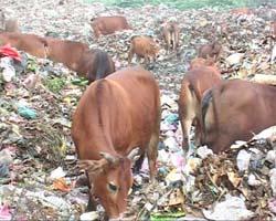 Đàn bò được chăn thả tại khu vực bãi rác phường Tân Hòa