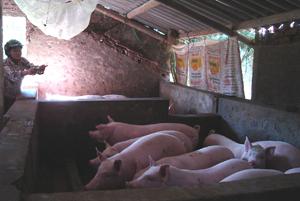 Để phòng dịch bệnh, nhiều hộ gia đình chăn nuôi lợn ở xã Yên Lạc (Yên Thủy) chủ động tiêm phòng và triển khai các biện pháp phòng dịch bệnh.
