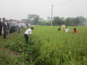 Các đại biểu tham dự hội thảo tham quan mô hình khảo nghiệm giống lúa thuần ĐTL 2 tại xóm Lồ, xã Phong Phú (Tân Lạc).
