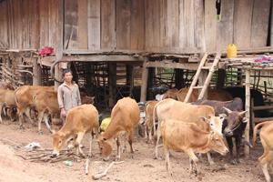 Nhân dân xã An Bình (Lạc Thủy) phát triển chăn nuôi bò theo hướng hàng hóa đem lại hiệu quả kinh tế cao.
