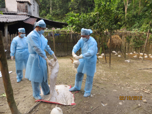 Lực lượng chống dịch xử lý, chôn hủy vịt bệnh ổ dịch xóm Trung, xã Trung Minh (TPHB).