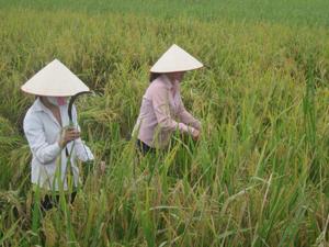 Thông qua hoạt động cung cấp dịch vụ của tổ BVTV HTX Bến Nghĩa, năng suất, chất lượng lúa vụ mùa xã  Cố Nghĩa (Lạc Thủy) thu được kết quả cao.