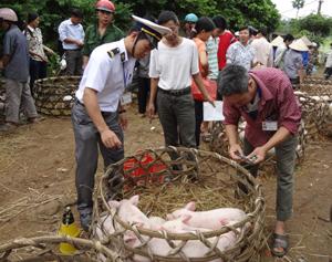 Lực lượng thú y huyện Lạc Sơn kiểm soát dịch bệnh gia súc tại chợ thị trấn.