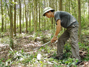 CCB Nguyễn Văn Viện, xóm Suối Tép, xã Đồng Tâm (Lạc Thuỷ) chăm sóc đồi rừng chuẩn bị cho thu hoạch của gia đình.