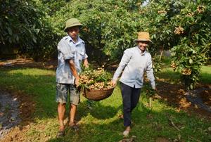 Gia đình ông Bùi Văn Lực (xóm Khoang, Sơn Thủy, Kim Bôi) mạnh dạn chuyển đổi 1,2 ha đất lúa và đất vườn để trồng nhãn Hương Chi, vụ nhãn năm nay cho thu gần 1 tỷ đồng.