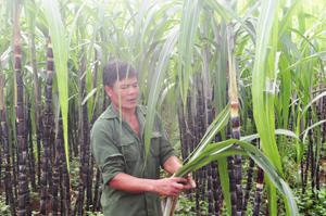 Người dân Tây Phong thoát nghèo từ cây mía tím
