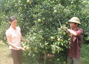 Gia đình anh Cao Xuân Quân, xóm Nam Thành, xã Nam Phong (Cao Phong) chăm sóc vườn cam đang đến vụ thu hoạch.