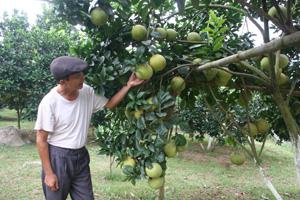 Do biết cách chăm sóc nên vườn bưởi của gia đình ông Dương Tất Tính có mẫu mã đẹp, chất lượng cao.