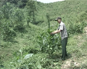 Ông Bùi Thanh Chìn chăm sóc những cây keo mới trồng tại trang trại của gia mình.