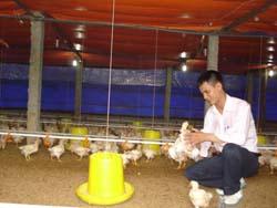 Anh Nguyễn Văn Tại nâng niu những chú gà được chăm sóc, nuôi dưỡng trong môi trường tốt