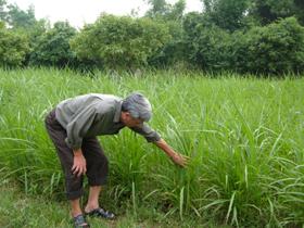 Huyện Kim Bôi xác định trồng cỏ đáp ứng nhu cầu thức ăn 25-30% cho trâu, bò hiện có.