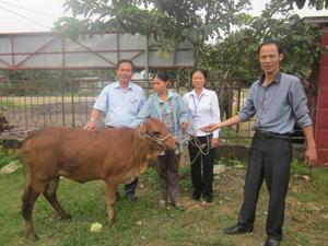 Hộ người tàn tật xã Đồng Tâm nhận bò giống hỗ trợ do Hội Bảo trợ người tàn tật và trẻ mồ côi tặng.
