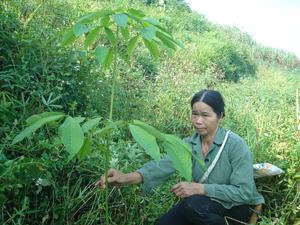 Chỉ còn một vài gốc cây cao su sống sót lại ở  khu đồi Nguyệt, xóm Bưng, xã Thu Phong (Cao Phong).