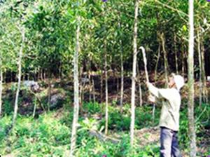 Nhân dân xã Đông Lai (Tân Lạc) chăm sóc rừng trồng năm thứ 2.