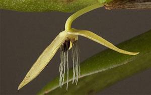 Nocturnum Bulbophyllum là loài phong lan đầu tiên nở hoa vào ban đêm.