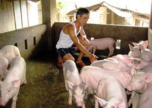 TPHB tập trung phát triển nền nông nghiệp hàng hóa theo hướng hiện đại. Ảnh: Mô hình nuôi lợn lai hướng nạc từ nguồn hỗ trợ phát triển NTM tại xã Yên Mông.