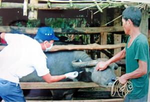 Lực lượng thú y huyện Kim Bôi triển khai tiêm vắc xin LMLM cho trâu, bò vụ đông.