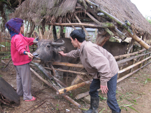 Hộ chăn nuôi xã Xuân Phong (Cao Phong) tích cực phối hợp thực hiện tiêm phòng LMLM cho gia súc vụ đông - xuân.