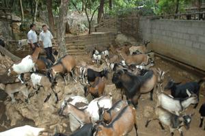 Đàn dê nhà anh Hà Văn Cương mang lại thu nhập ổn định hơn 100 triệu đồng/năm.