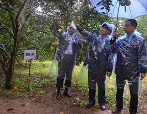 Trong khuôn khổ hội nghị, các đại biểu đã đi kiểm tra tình hình thực tế tại một số vườn cam trên địa bàn thị trấn Cao Phong và xã Tây Phong (Ảnh: đánh giá chất lượng của cây cam được đề nghị lần này mang ký hiệu XĐL-02).