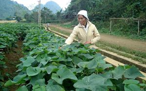 Người dân xã Ba Khan (Mai Châu) đầu tư trồng rau su su lấy ngọn đem lại hiệu quả kinh tế cao, góp phần thực hi?n tốt mục tiêu giảm nghèo bền vững.