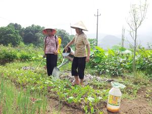 Được tập huấn chuyển giao KH-KT, nông dân xã Cư Yên  (Lương Sơn) trồng và chăm sóc rau mầm đạt chất lượng, đáp ứng nhu cầu của thị trường.