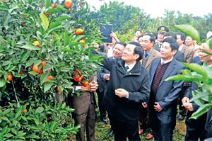 Chủ tịch nước Trương Tấn Sang cùng các đồng chí lãnh đạo tỉnh thăm vùng cam hàng hóa huyện Cao Phong. Ảnh: p.v