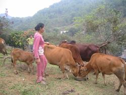 Gia đình ông Đinh Văn Lành, xóm Trà Ang, xã vầy nưa nuôi 12 con bò. Gia đình ông nấu cháo cho bò ân trong những ngày rét đậm nên đàn bò béo khoẻ.