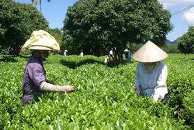 Nông dân huyện Lạc Thủy đưa giống chè mới  vào sản xuất cho năng suất 24 tấn/ha.