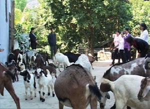 Nuôi dê đem lại hiệu quả kinh tế cho nhiều hộ gia đình xã Đồng Tâm (Lạc Thủy).