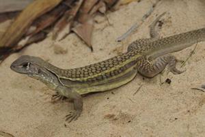 Loài nhông cát trinh sản mới tìm thấy ở Việt Nam.
