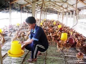 Mô hình nuôi gà an toàn sinh học tại xã Họp Hòa phát triển tốt, cho hiệu quả kinh tế khá.