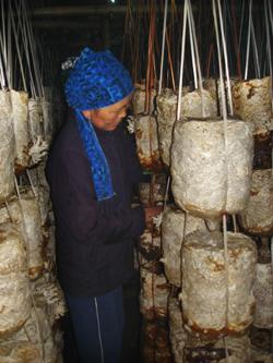 Mô hình trồng nấm rơm, mộc nhĩ được nhân dân xã Tu Lý (Đà Bắc) ghi nhận là mô hình làm ăn có lãi, góp phần xóa đói- giảm nghèo.  (Ảnh: Bà Xa Thị Biện, người tiên phong tham gia mô hình tại xã.)