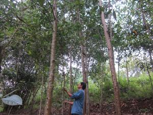 Người dân xã Bình Thanh (Cao Phong)  tăng thu nhập từ nghề trồng rừng.