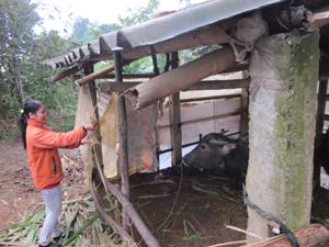 Hộ chăn nuôi xã Nam Thượng (Kim Bôi) chủ động chắn chuồng trại và dự trữ thức ăn vụ đông cho gia súc.