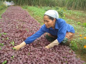 Mô hình rau hữu cơ không sử dụng thuốc bảo vệ thực vật gây tác động xấu đến môi trường đang được xã Nhuận Trạch nhân rộng.