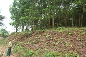 Anh Bùi Ngọc Thơ phấn khởi dẫn chúng tôi đi tham quan 19 ha rừng keo ở xóm Rú 4- xã Xuân Phong.