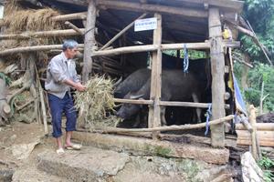 Gia đình ông Bùi Nha Cao ở xóm Rộc, xã Nật Sơn (Kim Bôi) chủ động che chắn chống gió lùa và dự trữ nguồn thức ăn cho đàn trâu trong vụ đông xuân 2014-2015.