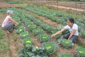 Phụ nữ xã Hạ Bì (Kim Bôi) tích cực trồng rau vụ đông cải thiện thu nhập gia đình.