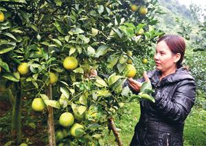Chị Lâm Thị Nụ, tiểu khu 2, thị trấn Cao Phong chăm sóc vườn cam lòng vàng của gia đình.
