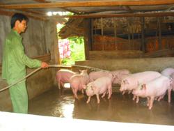 Anh Hà Công Pẻn, bản Lác (Chiềng Châu) chăn nuôi lợn thịt 30-40 con/lứa kết hợp xây dựng Bioga cải thiện môi trường, tiết kiệm chất đốt