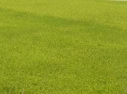 Những cánh đồng lúa thực hiện phương pháp PTD đều cho năng suất và hiệu quả kinh tế cao hơn.