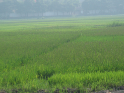 Cánh đồng lúa phường Hữu Nghị (TPHB) bị rầy nâu gây hại trên diện tích rộng ở nhiều ha lúa.