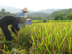 Nhân Dân xóm Đoàn Kết, xã Phúc Tiến  thu hoạch lúa chiêm xuân.