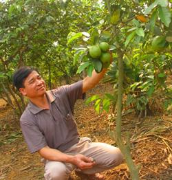 Vườn ổi pha lê của ông Nguyễn Tuyển cho thu nhập cao.