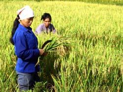 Nông dân Kim Bôi tập trung thu hoạch lúa vụ chiêm.