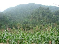 Bạt ngàn những cánh đồng ngô ở Ngọc Sơn.