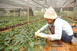 Lâm trường Lạc Sơn sản xuất cây giống.